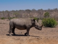 2016 - Afrique du Sud - Parc Kruger - Rhinocéros blanc