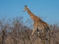 2016 - Afrique du Sud - Parc Kruger - Girafe