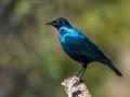 2016 - Afrique du Sud - Parc Kruger - Choucador
