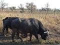 2016 - Afrique du Sud - Parc Kruger - Buffles