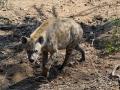 2016 - Afrique du Sud - Parc Kruger - Hyène