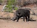 2016 - Afrique du Sud - Parc Kruger - Phacochère
