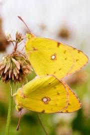 JMD_amours de papillons.jpg